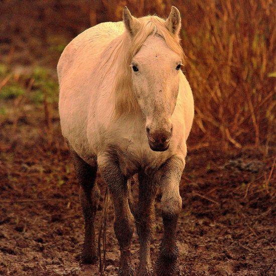 Cavall de la