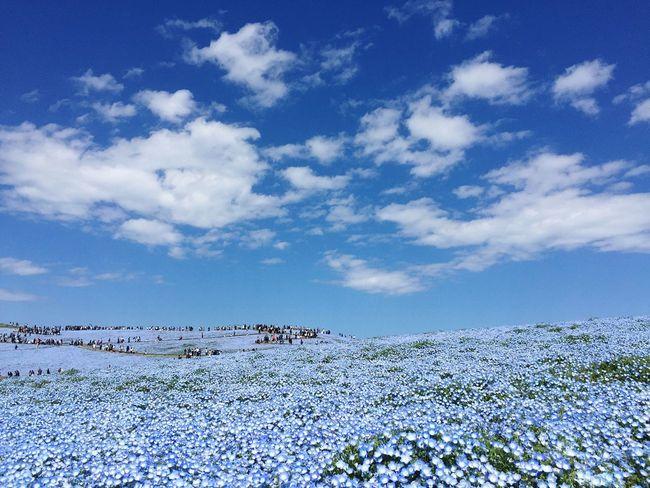 ネモフィラ 花 ひたち海浜公園 Nemophila Flower Sky Cloud - Sky Blue Beauty In Nature Enjoying Life Japan