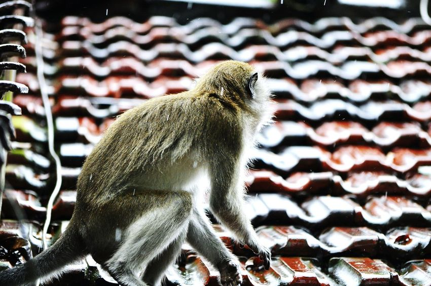 Rain. Monkey Monkeys Close-up No People Forest Fur Rooftop Sharp Nikon EyeEmNewHere EyeEm Ready