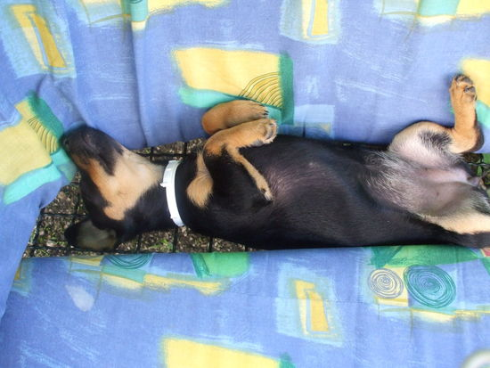 Comfortable Dachshund Dog Domestic Animals Lying Down Mazsi No People Pets Puppy Relaxation