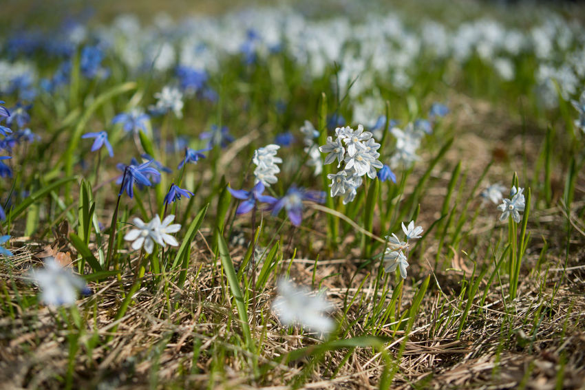 Beauty In Nature Blooming Close-up Day Field Flower Flower Head Fragility Freshness Grass Growth Nature No People Outdoors Plant Scilla Siberica Spring Spring Flowers Springtime