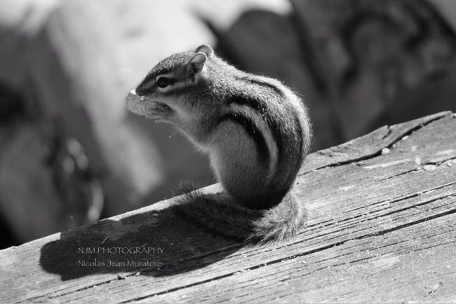Chipmunk on the Deck Urban Wildlife Fall