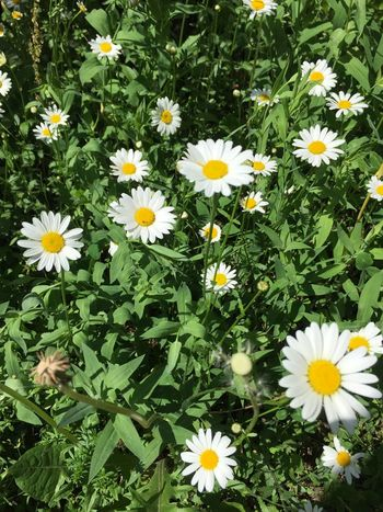 """Now in my garden! """"Margrittli"""" Vulnerability  Fragility White Color No People Field Outdoors Flower Head"""
