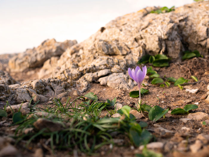 Close-up of pink crocus flowers on rock