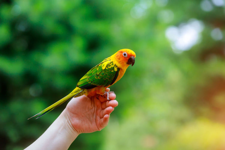 Conure Sun Animal Background Beak Beautiful Bird Exotic Feather  Green Nature Orange Parrot Pet Tropical Wild Wildlife Yellow Colorful Cute Pretty Red Avian Finger Hand Isolated Natural Parakeet Eating Color Gold Love Perch Bill Blue Bold Bond Branch Bright Cacatua Cockatoo Crest Domesticated Eye Family Group Hook Horizontal Miniature Snack