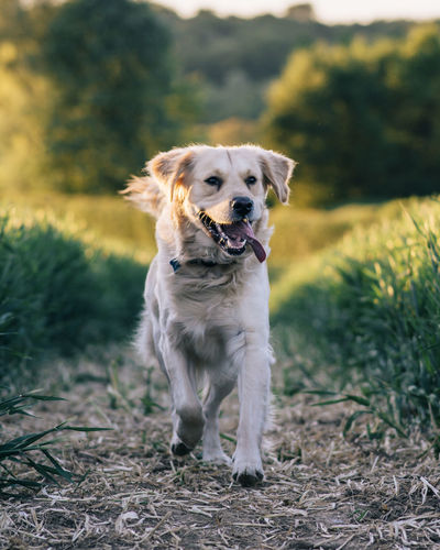 Animal Animal Themes Canine Day Dog Domestic Domestic Animals Field Focus On Foreground Grass Land Mammal Mouth Open Nature No People One Animal Outdoors Pets Plant Portrait Running Vertebrate
