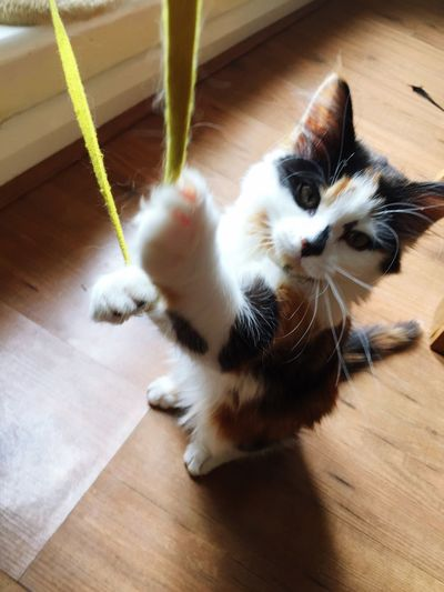 Playing With String Domestic Animal Themes Animal Mammal Cat Domestic Cat Pets Domestic Animals Whisker Home Interior No People Relaxation Indoors  Vertebrate Wood High Angle View Hardwood Floor One Animal Feline Flooring