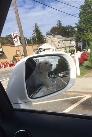 Domestic Animals One Animal Animal Themes Pets Dog 😚 In The Mirror Out For A Spin Taking In The Local Scenery