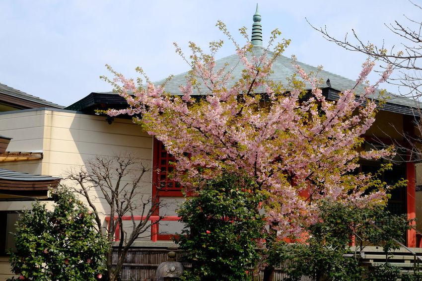 龍眼寺 Architecture Fujifilm Fujifilm X-E2 Fujifilm_xseries Japan Japan Photography Kameido Temple Tokyo XF18-55mm 亀戸 日本 東京 桜 河津桜 龍眼寺