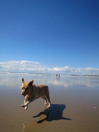Dog running on sandy beach against blue sky during sunny day