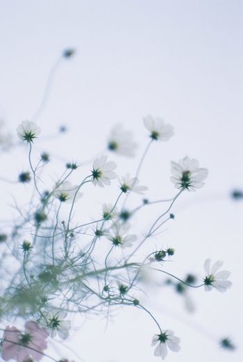 Close-up of white flowering plant against clear sky