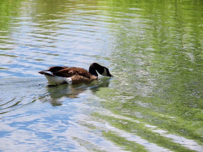 Canada goose water bird swimming drinking water ripples outdoors water reflections outdoors beauty in nature Animal Wildlife One Animal No People