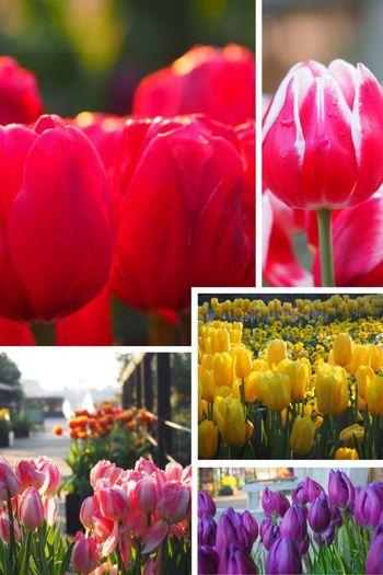 Tulips in winter .