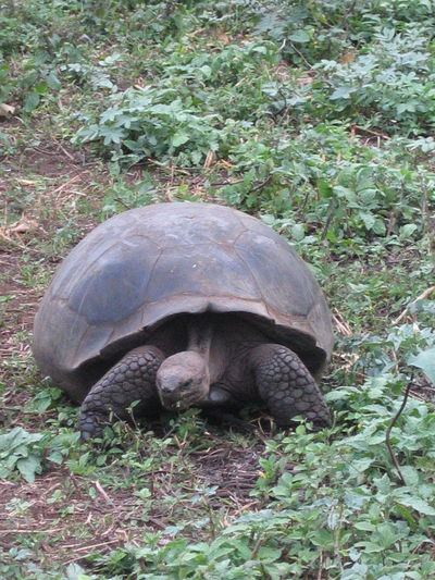 Animal Themes Animals In The Wild Day Field Galapagos Galapagos Tortoise Giant Tortoise Grassy No People One Animal Outdoors Plant The Past Wildlife Zoology