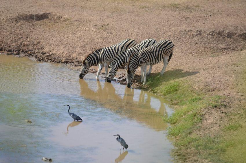 Zebra Addoelephantpark