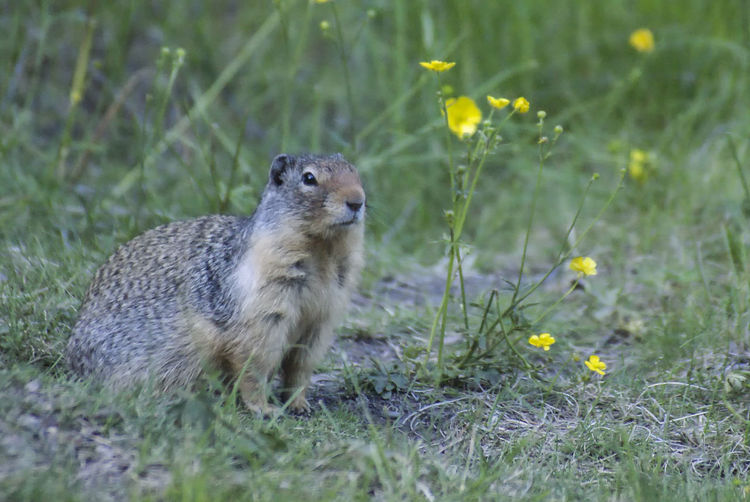Canadian groundhog Canada Alberta Groundhogs Wildlife & Nature Wildlife Nature Flower Portrait Grass Close-up Plant