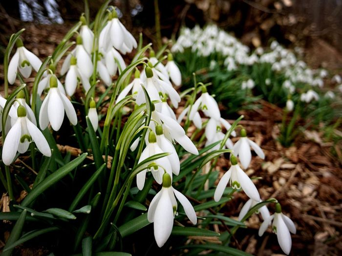 Flower White Color Growth Freshness Petal Fragility Nature Beauty In Nature Snowdrop Plant Blooming Flower Head Focus On Foreground Close-up Day No People Outdoors Beautiful Flowers Nature