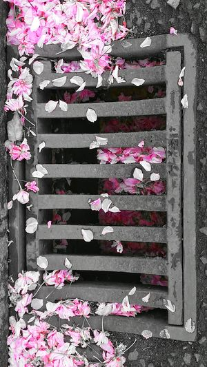 Beauty Of Decay Cherry Blossom Petals🌸 Exceptional Photographs EyeEm Masterclass Nature_perfection EyeEm Nature Lover Drain Cover Art Is Everywhere