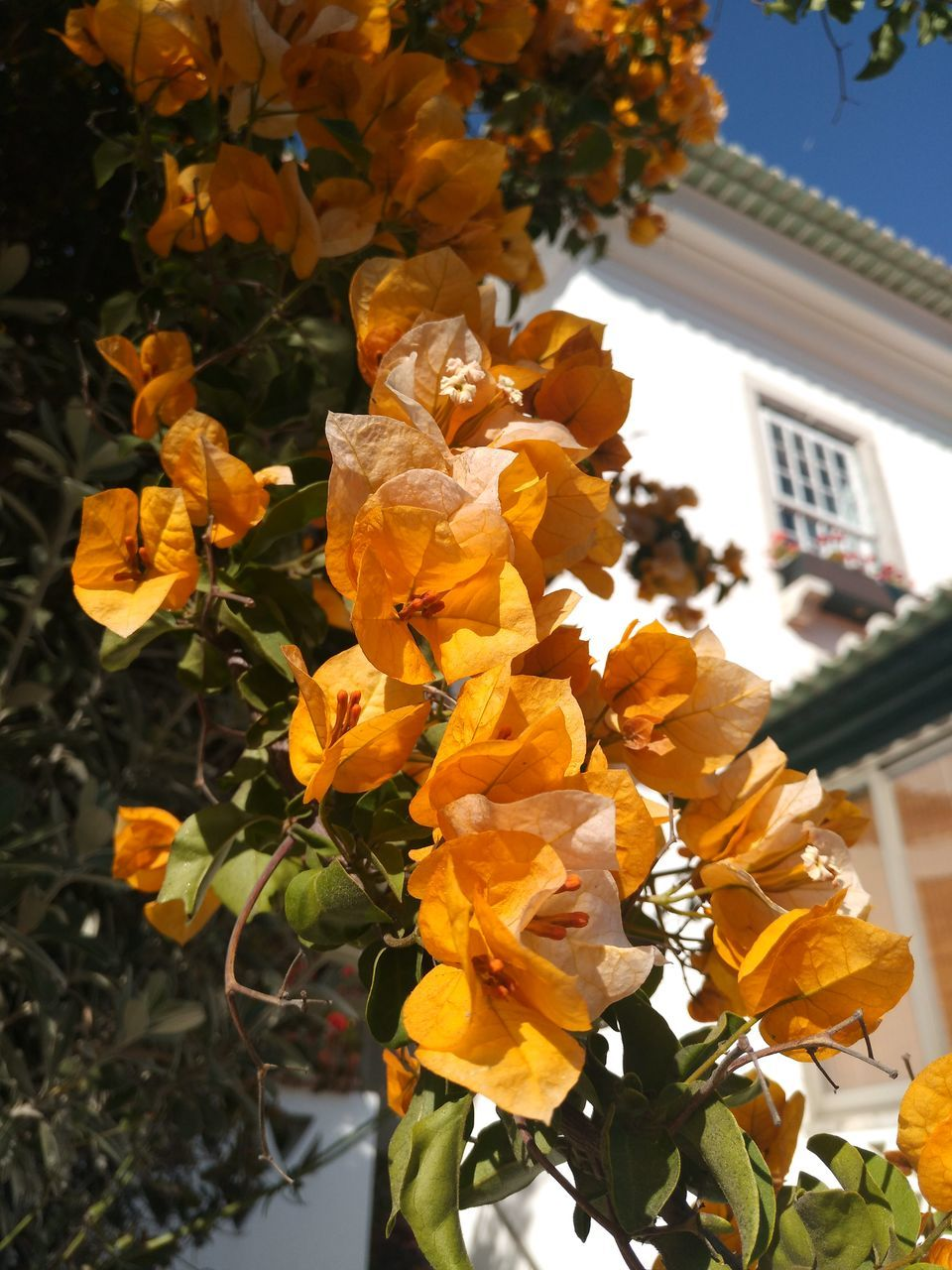 flower, building exterior, fragility, yellow, petal, architecture, plant, outdoors, no people, growth, nature, day, built structure, beauty in nature, blossom, freshness, springtime, blooming, flower head, low angle view, tree, close-up, sky
