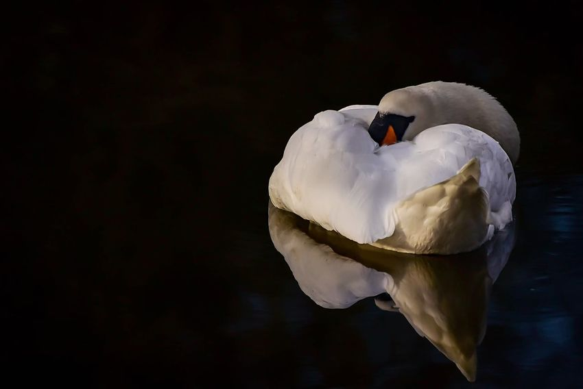 Monday again! Reflections In The Water Reflection Northamptonshire Waterfront Water Fowl Nature Photography Nature Bird Photography Birds Of EyeEm  Sleeping Swan Swans One Bird One Animal Bird Animals In The Wild White Color One Animal Swan Animal Themes Animal Wildlife