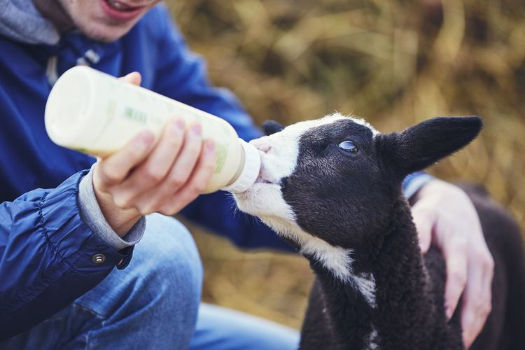 Farm life with sheep. Young man holding bottle with milk and feeding little lamb. Agriculture Care Eating Farm Farmer Feeding  Hungry Lamb Livestock Man New Life Work Working Animal Baby Bottle Beginnings Black Bottle Cheerful Help Milk People Sheep Springtime Young Animal