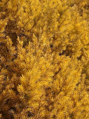 Yellow Gold Colored Nature Beauty In Nature Close-up Pine Tree Pinetrees🌲 Lanzhou