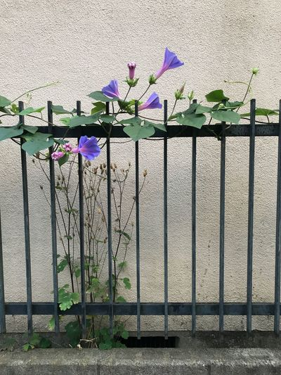 Flower Wall - Building Feature No People Day Outdoors Growth Plant Nature Architecture Green Color Fragility Beauty In Nature Built Structure Building Exterior Freshness Close-up Ipomoea Tricolor