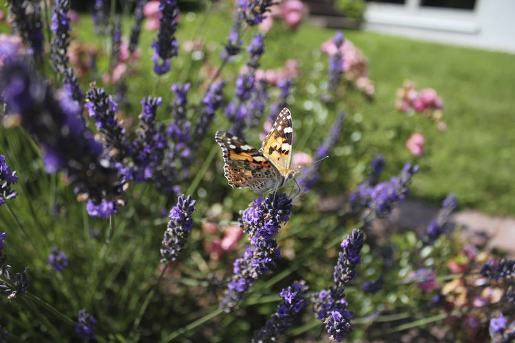 Animals Beauty In Nature Blooming Butterfly Close-up Flower Focus On Foreground Garden Insects  Lavender Macro Nature Outdoors Purple Showcase July