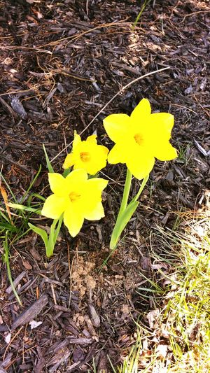 Daffodils Yellow Flowers Nature Photography Spring Has Sprung Spring Into Spring Lemon By Motorola