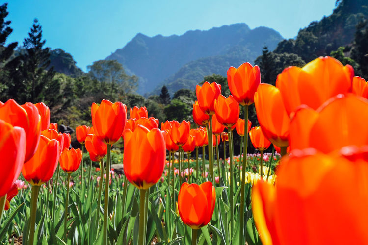 Flowering Low Angle View Nature Photography Red Taiwan Travel Tulips Beauty In Nature Blooming Bloosom Close-up Flower Fragility Freshness Growth Mountain Nature No People Petal Plant Season  Spring Springtime Sunlight Tulip