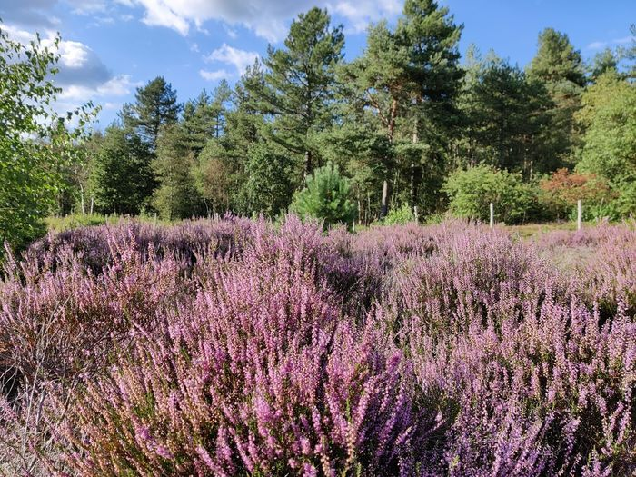 Purple flowering plants by trees on field against sky