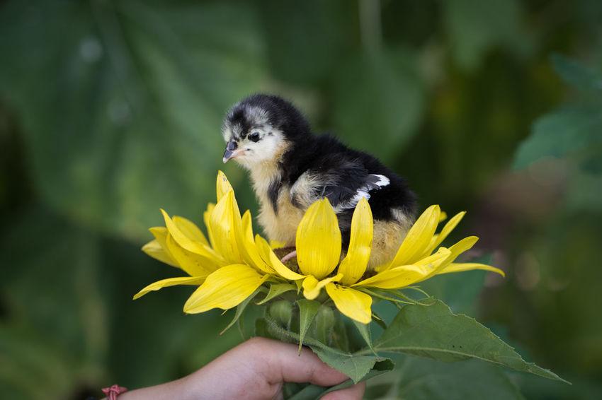 Sunflower Animal Wildlife Baby Chicks Flower Flower Head Flowering Plant Holding Human Hand Outdoors Yellow