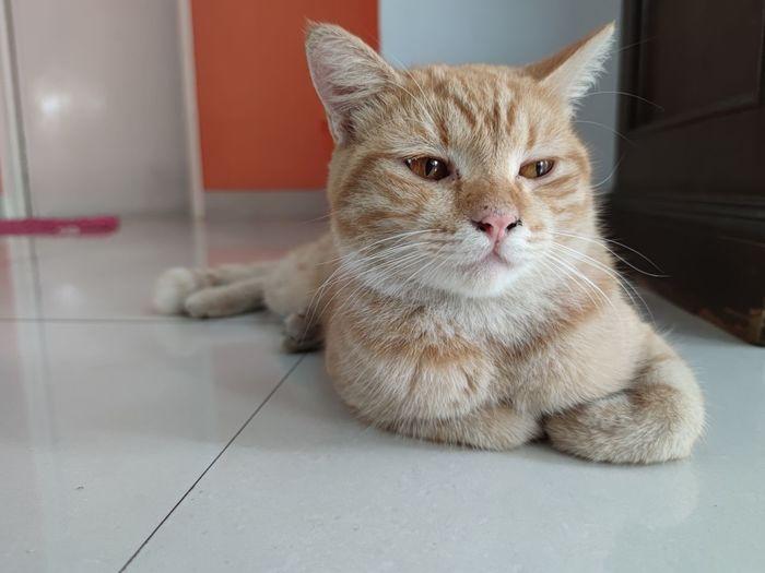 Portrait of cat resting on tiled floor