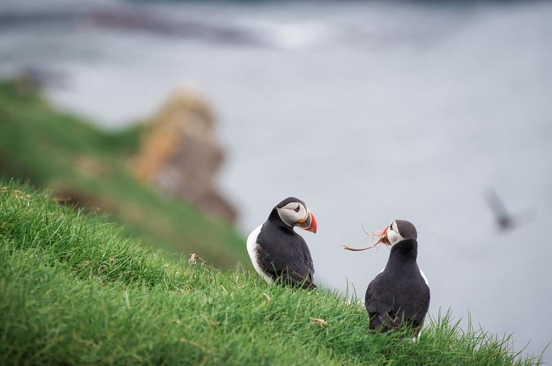 Animal Themes Animal Wildlife Animals In The Wild Bird Day Faroe Islands Grass Island Island Life Nature No People Outdoors Puffin Puffin Island Togetherness Your Ticket To Europe