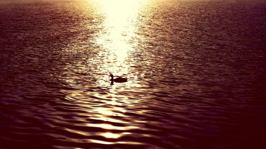 Animal Themes Bird Wildlife Animals In The Wild Reflection Swimming Water Lake Duck One Animal Water Bird Nature Rippled Waterfront Beauty In Nature Sunrise Sunset Lakegeorge EyeEm Best Shots EyeEm Nature Lover Love EyeEm Gallery Swimming Kayak Sky