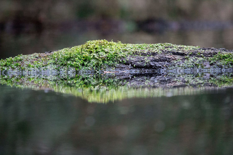 Close-up of moss covered wood at lake