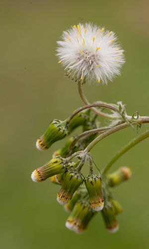 Even weeds are beautiful ! Blurred Background Close-up Flower Green Color Groundsel Growth Nature No People Plant Seed Head Seeds