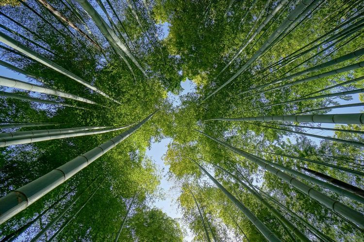 Kyoto Japan Bamboo Forrest Landscapes With WhiteWall Ultimate Japan