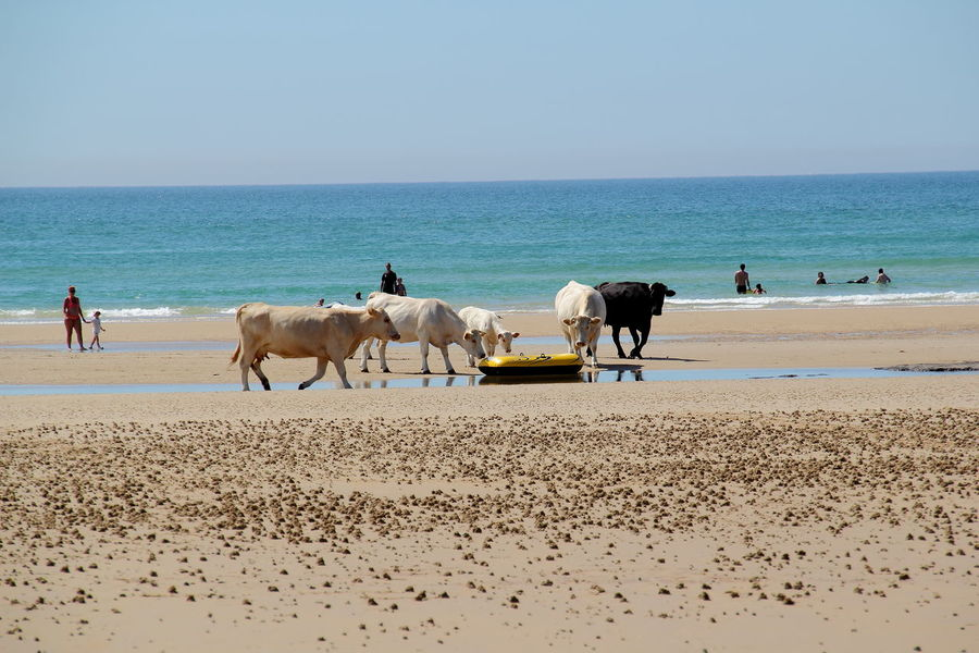 Animal Animal Themes Beach Beauty In Nature Cows Domestic Domestic Animals Group Of Animals Herbivorous Horizon Horizon Over Water Land Mammal Nature Outdoors Pets Sand Scenics - Nature Sea Sky Vertebrate Water