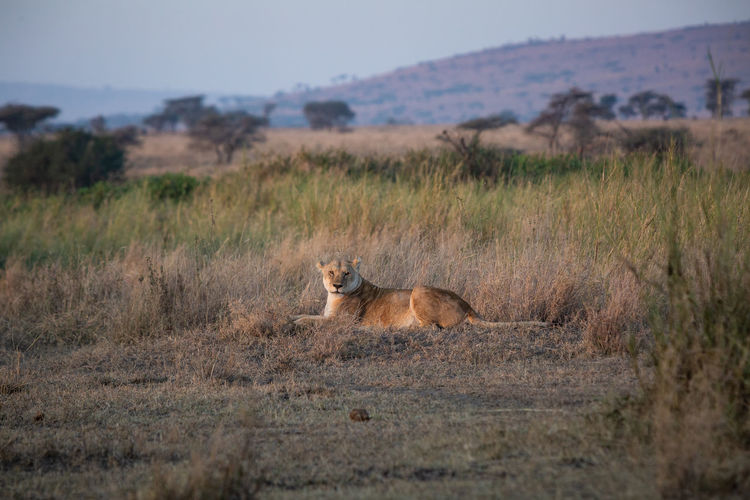 Lioness sitting on land at sunset