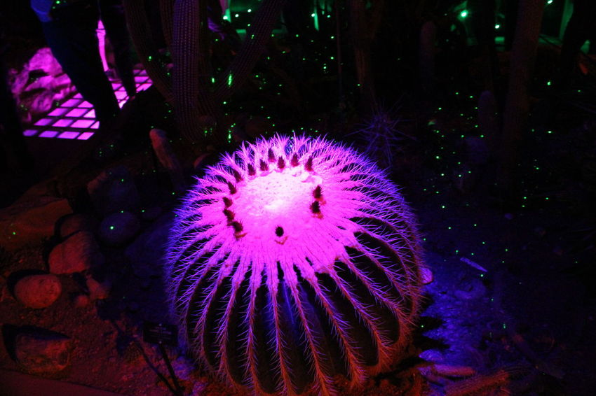 barrel cactus illuminated at botanical gardens Botanical Gardens Flowers Illuminationphotography Nightphotography Night Lights Light And Shadow Colors Flower Dark Plants 🌱 Plants And Flowers Catus Barrel Cactus Cactus Flower Cactus No People Night Indoors  Close-up