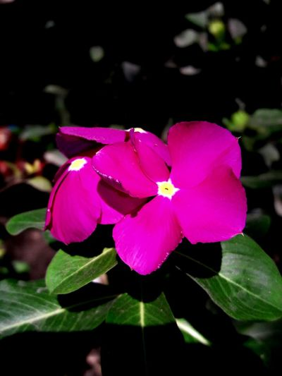 Flower Nature Petal Fucsia Flowers Beauty In Nature Little Photographer I LOVE PHOTOGRAPHY Eye4photography  Cameraphone Photography Photo♡ Nature Naturelovers Flowers