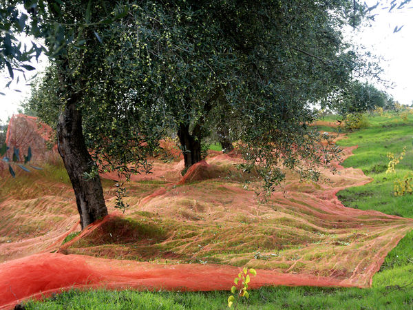 Ernte, Italy Nature No People Olive Olive Trees Olivenernte Sardinia Sardegna Italy  Tree