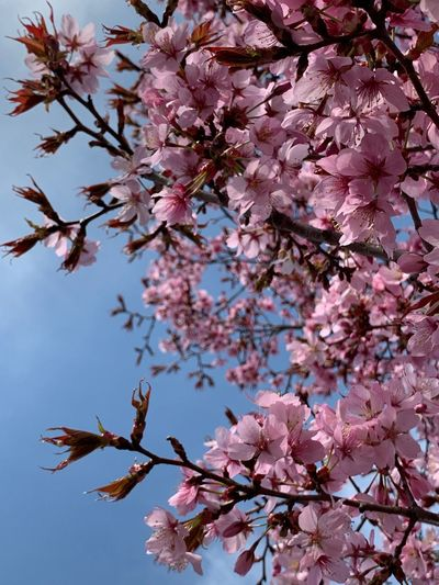 Plant Tree Flower Flowering Plant Growth Fragility Pink Color Freshness Springtime Vulnerability  Blossom Branch Beauty In Nature Nature Low Angle View Cherry Blossom Sky No People Cherry Tree Day