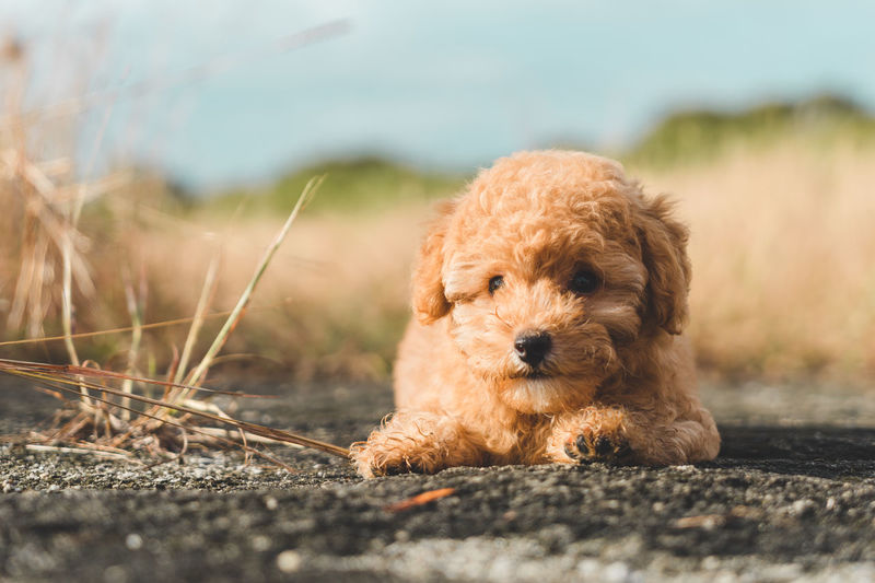 Brown poodle dog resting on the floor