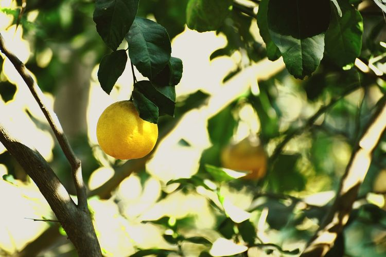 tangy 🌲.. 🍋 Citrus Fruit Lemon Fruit Tree Leaf Lemon Tree Hanging Yellow Food And Drink Healthy Eating Nature Beauty In Nature Day Freshness Outdoors