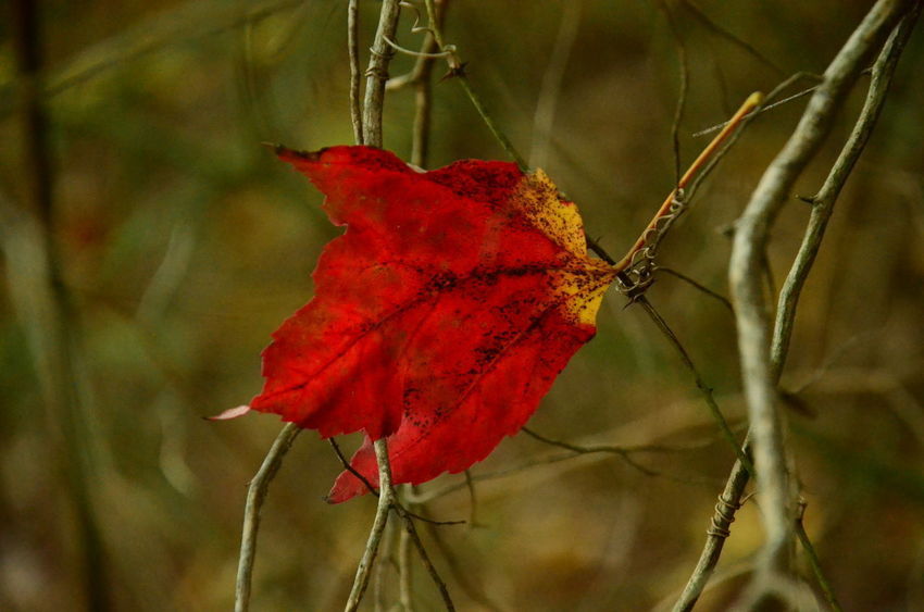 Red Plant Close-up Beauty In Nature Focus On Foreground Plant Part Nature Leaf Day Growth No People Fragility Vulnerability  Outdoors Autumn Tree Selective Focus Dry Branch Plant Stem Change Flower Leaves Natural Condition