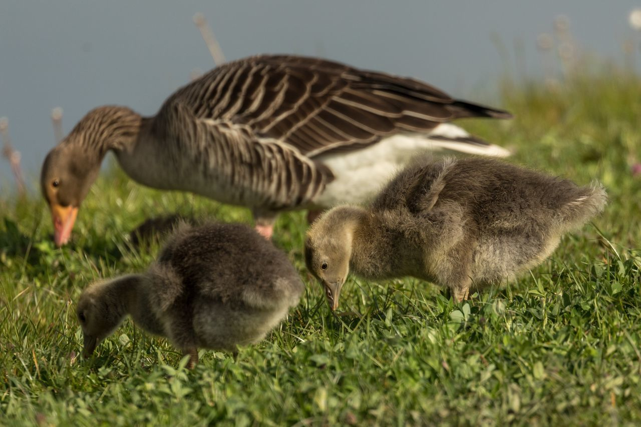 gosling, young bird, bird, young animal, animal themes, goose, field, animals in the wild, nature, animal wildlife, no people, togetherness, day, animal family, grass, duckling, outdoors, growth, geese, close-up