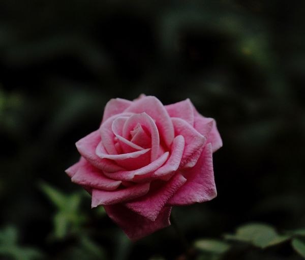Say it with a rose Flower Flowering Plant Beauty In Nature Plant Rosé Petal Freshness Focus On Foreground Pink Color Fragility Flower Head Growth Outdoors Vulnerability  Rose - Flower Close-up Nature No People Inflorescence Softness