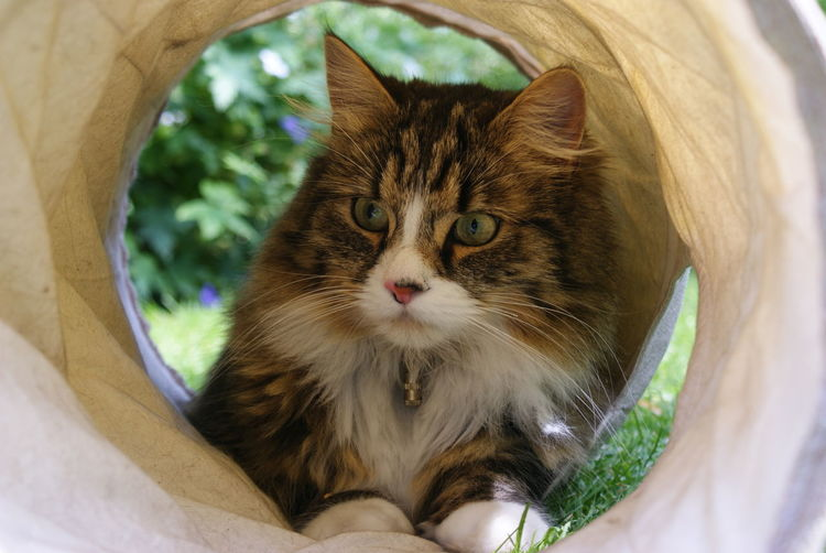 Norwegian forest cat in agility tunnel